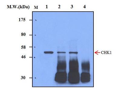 CHK1 (7H4) Monoclonal Antibody