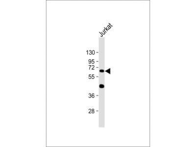 CYP1A1 (10G3) Monoclonal Antibody