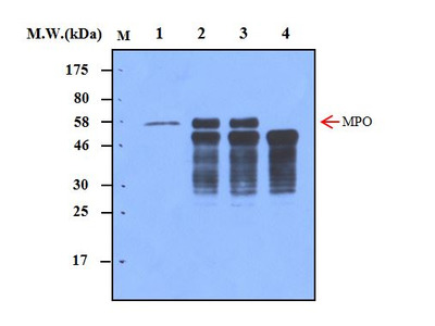 Myeloperoxidase (1A1) Monoclonal Antibody