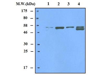 Thioredoxin Reductase 2 Antibody
