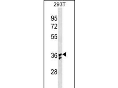 IL1B (4C1) Monoclonal Antibody