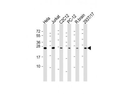 RAB11A (6C8) Monoclonal Antibody