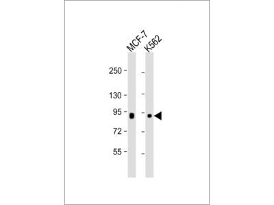 BRAF (5C5) Monoclonal Antibody