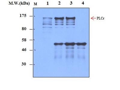 PLC gamma (1F1) Monoclonal Antibody