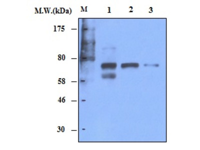 PTGS2 Polyclonal Antibody