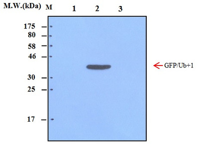 Ubiquitin+1 (40B3) Monoclonal Antibody