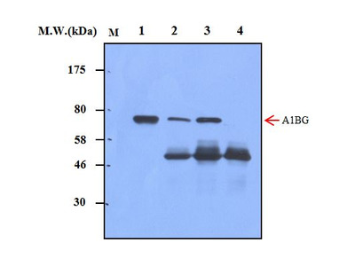 A1BG (54B12) Monoclonal Antibody