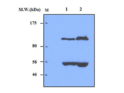 Complement factor B (28A3) Monoclonal Antibody