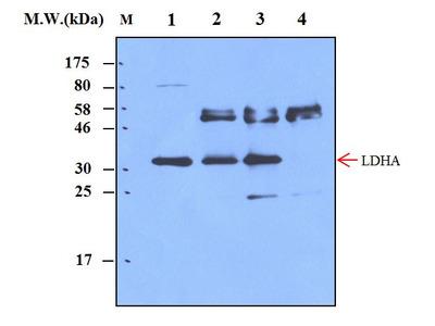 LDHA (14A11) Monoclonal Antibody