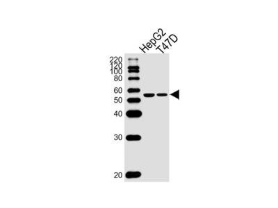 ALDH6A1 (7C4) Monoclonal Antibody