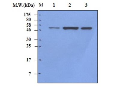 Vimentin (33C7) Monoclonal Antibody