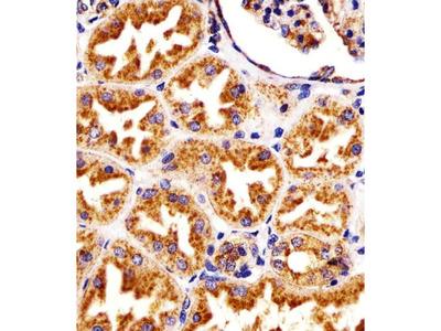 LAMP1 (1483CT517.45.23) Antibody