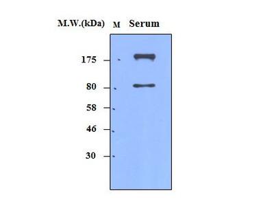 alpha 2 macroglobulin (2D9) Monoclonal Antibody