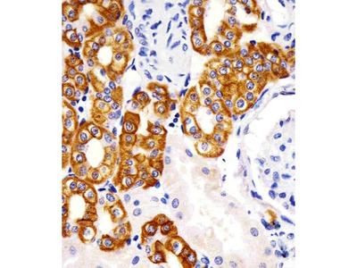 KRT19 (9C1) Monoclonal Antibody