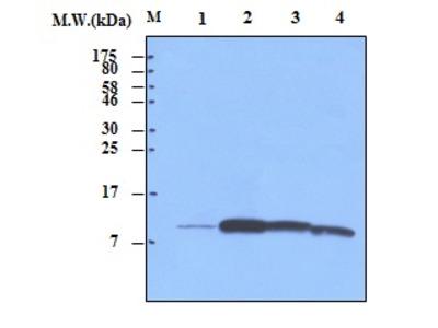 Thioredoxin 1 Polyclonal Antibody