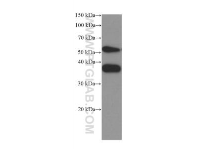 SPARC Antibody (1A2C1)