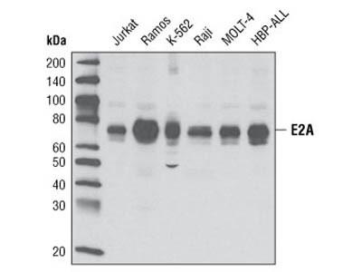 E2A Antibody
