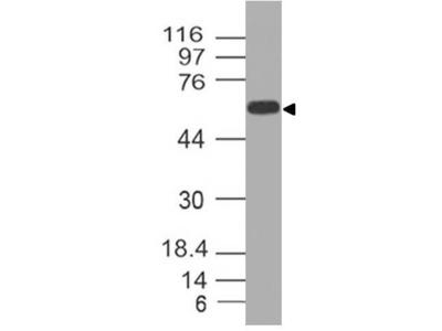 Anti-CD73 Antibody (Monoclonal, ABM40E2)