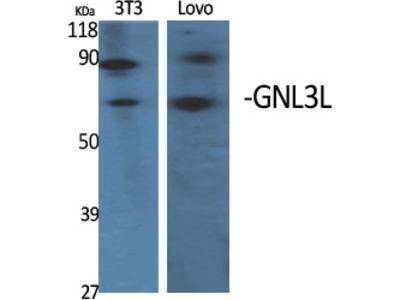 Anti-GNL3L Antibody