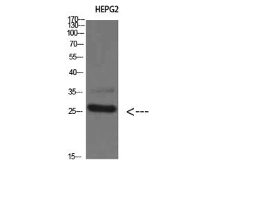 Anti-Tryptase-3 Antibody