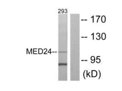 Anti-MED24/Trap100 Antibody