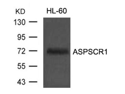 Anti-ASPSCR1/Tug Antibody