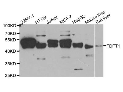 Anti-Ataxin-1 ATXN1 Antibody