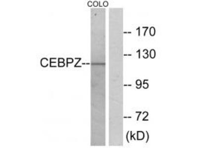 Anti-CEBPZ/Cbf2 Antibody