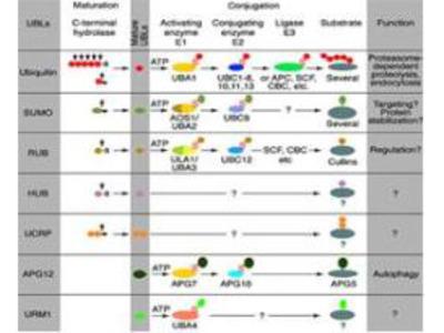 Anti-SKP1 Antibody