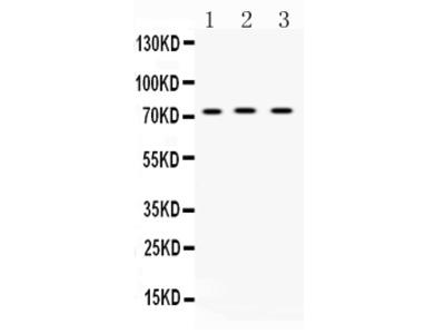 Anti-ABCG8 Picoband Antibody