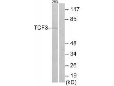 Anti-TCF3/E2A Antibody