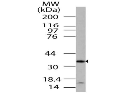 Anti-LST8/GBL Antibody
