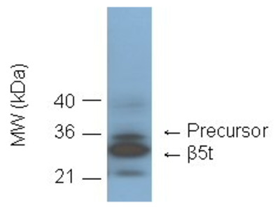 Anti-Proteasome 20S Beta 5T Subunit Antibody (Monoclonal, B8-17)