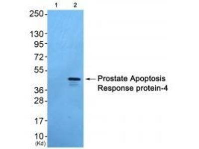 Anti-Prostate Apoptosis Response Protein-4 Antibody