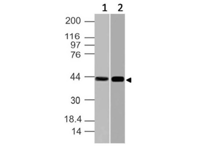 Anti-NFKBIL1 Antibody