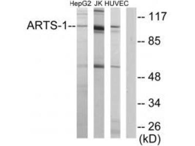 Anti-ARTS-1 Antibody