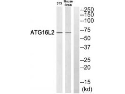 Anti-ATG16L2 Antibody