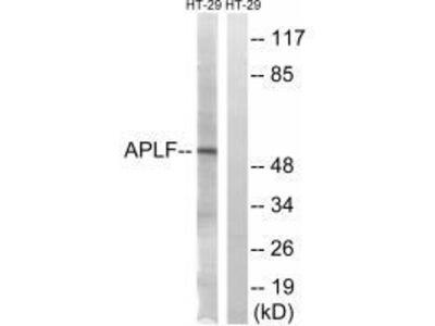 Anti-APLF (Ab-116) Antibody