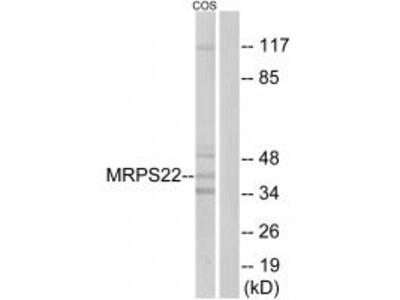 Anti-MRPS22 Antibody
