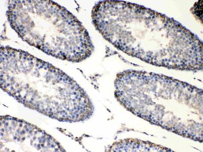 Anti-Bag1 Picoband Antibody