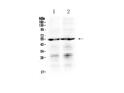 Anti-Prostaglandin E Receptor EP4/PTGER4 Antibody Picoband