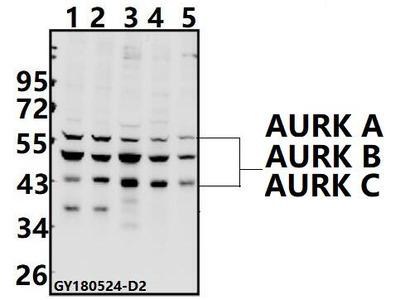 Anti-AURKB/C (K197) Antibody