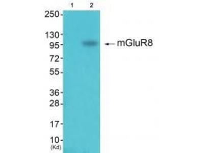Anti-GluR8 Antibody