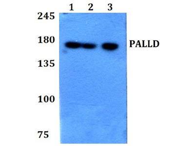 Anti-Palladin PALLD Antibody
