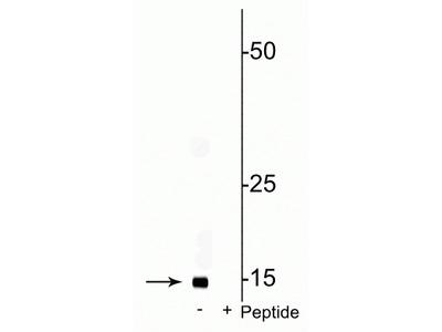 Anti-Phospho-COXIV (Ser58) Antibody