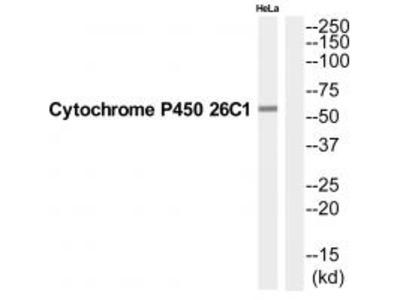 Anti-CP26C Antibody