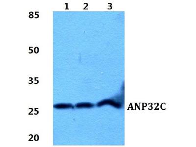 Anti-ANP32C Antibody