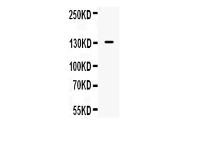 Anti-iNOS/NOS2 Picoband Antibody