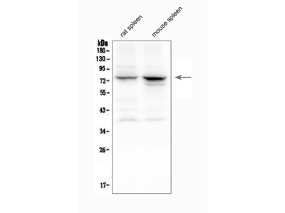 Anti-12 Lipoxygenase/ALOX12 Picoband Antibody