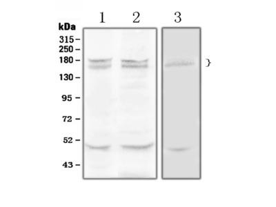 Anti-Thrombospondin/THBS1 Antibody Picoband